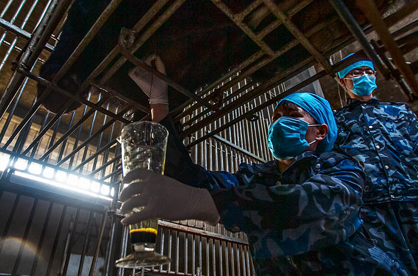 A farm employee extracts bile from the gallbladder of a live bear at the Fujian Guizhentang Pharmaceutical Co. Ltd. bile farm in Huian County, Fujian province, Feb. 22, 2012. VCG